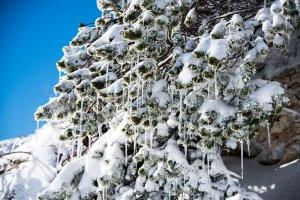Denneboom met sneeuw en ijspegels