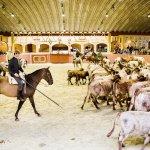 Ruiters te paard drijven runderen door een arena
