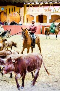 Ruiters te paard drijven runderen verder in een arena