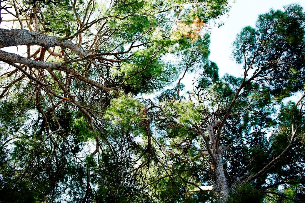 Onderaanzicht bomen in Kroatië