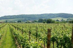 Wijnveld in Luxemburg