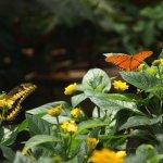 Twee vlinders op kleine gele bloemen