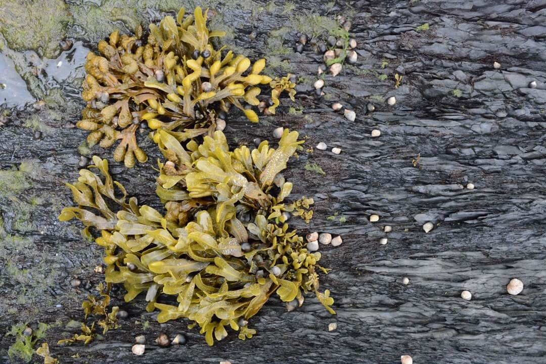Stenen strand van Huk met zeewier