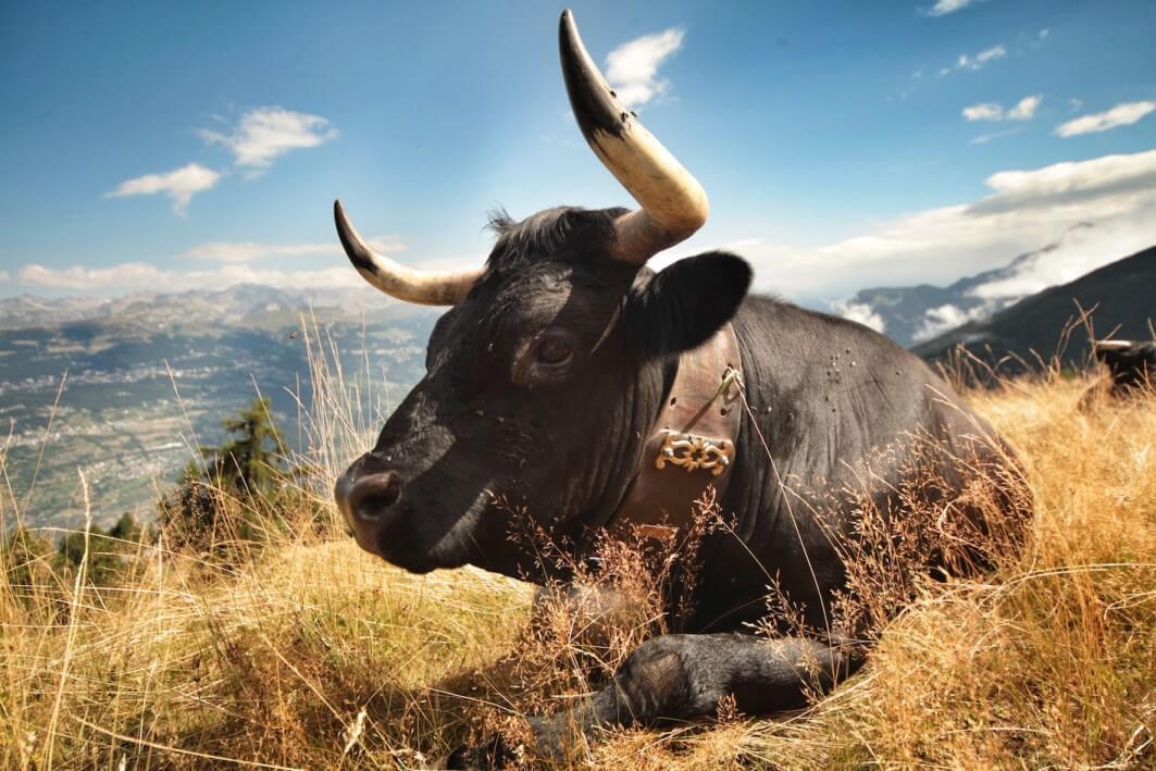 Zwarte koe met koebel ligt op het gras