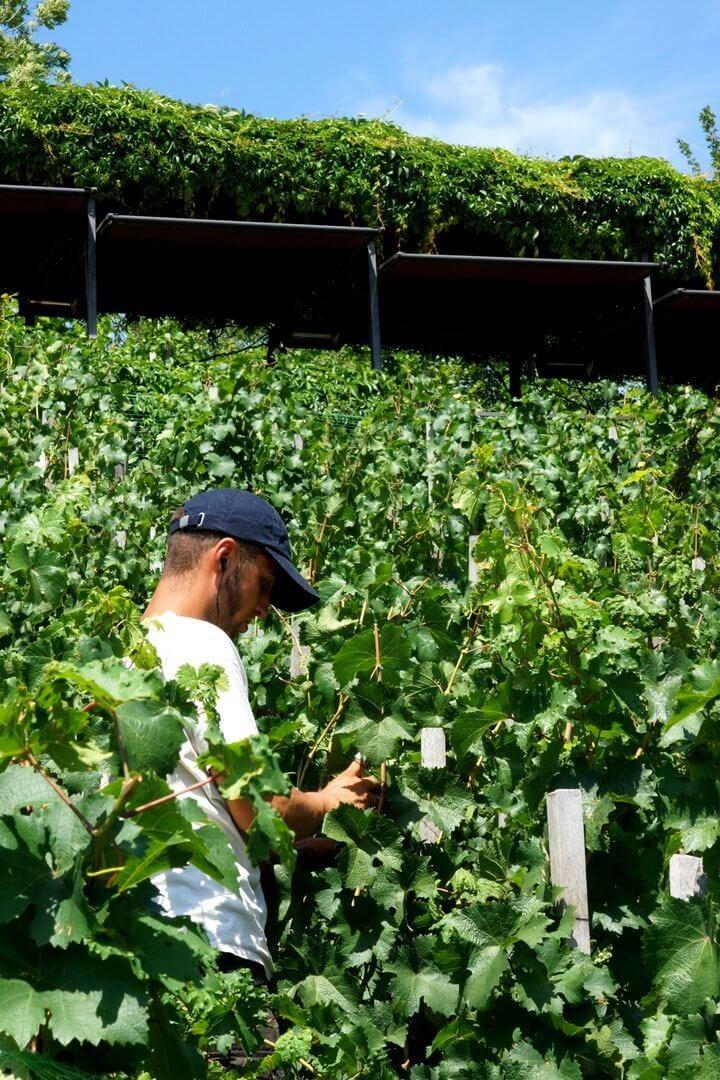 Praagse Burcht wijngaard
